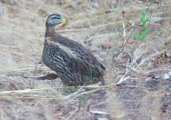 Double-spurred Francolin (Pternistis bicalcaratus) by KapitanHojo©©