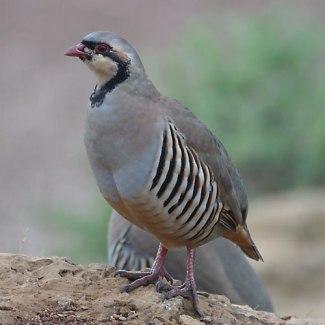 Rock Partridge (Alectoris graeca) ©Arthur Grosset