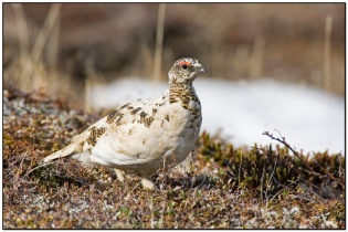 Rock Ptarmigan (Lagopus muta) by Daves BirdingPix