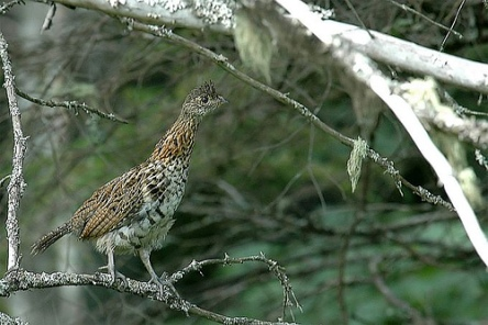 Ruffed Grouse (Bonasa umbellus) by Kent Nickel