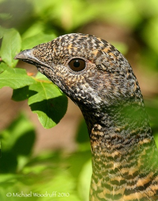 Spruce Grouse (Falcipennis canadensis) by Michael Woodruff