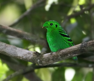 Green Broadbill (Calyptomena viridis) by Peter Ericsson