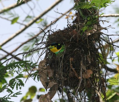 Long-tailed Broadbill (Psarisomus dalhousiae) in nest by Peter Ericsson