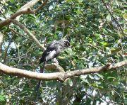 Magpie Shrike (Urolestes melanoleucus) LPZoo by Lee
