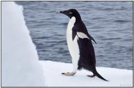 Adelie Penguin (Pygoscelis adeliae) by Daves BirdingPix