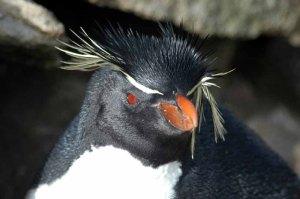 Southern Rockhopper Penguin (Eudyptes chrysocome) by Bob-Nan