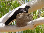 White-winged Chough (Corcorax melanoramphos) in mud nest by Ian