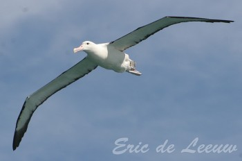 Northern Royal Albatross (Diomedea sanfordi) ©©Flickr