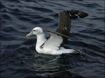 Shy Albatross (Thalassarche cauta) by Ian
