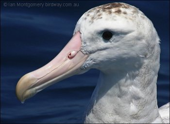 Wandering Albatross (Diomedea exulans) by Ian