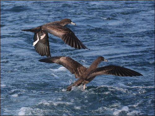 Flesh-footed Shearwater (Puffinus_Ardenna carneipes) by Ian