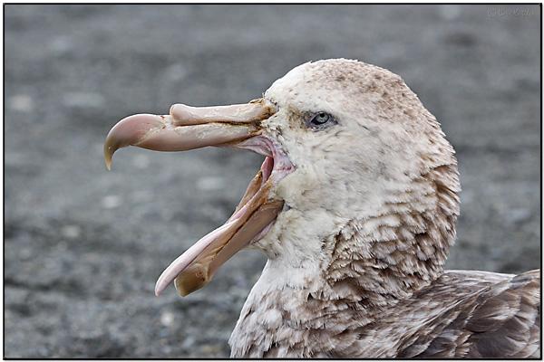 Northern Giant Petrel (Macronectes halli) by Dave's BirdingPix