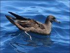 Wedge-tailed Shearwater (Puffinus pacificus_Ardenna pacifica) by Ian