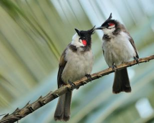 Red-whiskered Bulbul Proud Parents by TAJA