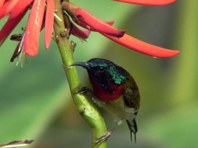 Fork-tailed Sunbird (Aethopyga christinae) ©WikiC male