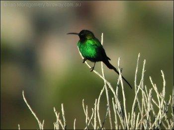 Malachite Sunbird (Nectarinia famosa) by Ian
