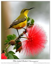 Olive-backed Sunbird (Cinnyris jugularis) by Ian