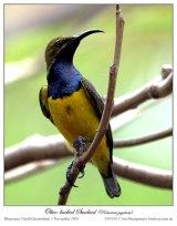 Olive-backed Sunbird (Cinnyris jugularis) by Ian