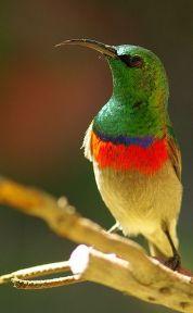 Southern Double-collared Sunbird (Cinnyris chalybeus) ©WikiC