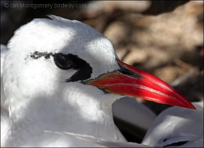 Red-tailed Tropicbird (Phaethon rubricauda) by Ian