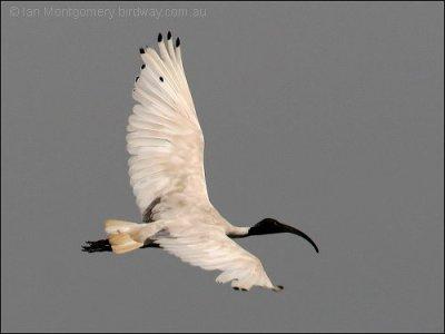 Australian White Ibis (Threskiornis molucca) by Ian