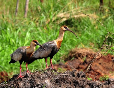Buff-necked Ibis (Theristicus caudatus) by Dario Sanches
