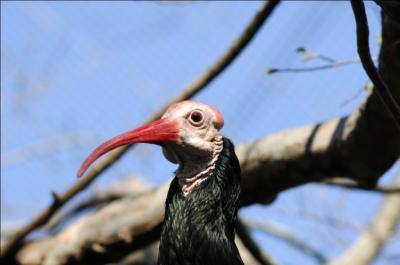 Southern Bald Ibis (Geronticus calvus) by Dan at LPZoo