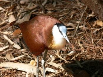 African Jacana (Actophilornis africanus) by Lee