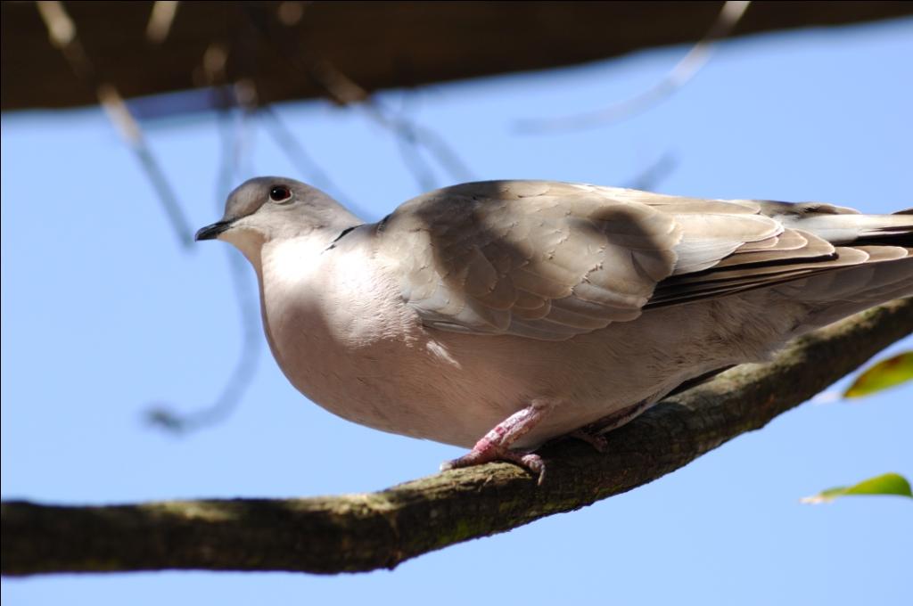Eurasian Collared Dove (Streptopelia decaocto) by Dan