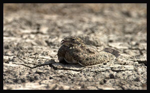 Nacunda Nighthawk (Podager nacunda) by R Scanlon