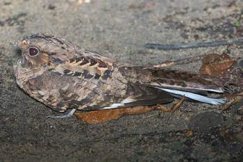 Pauraque (Nyctidromus albicollis) by ©AGrosset