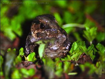 Pauraque (Nyctidromus albicollis) by Ian