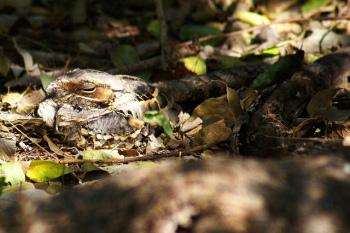 Pauraque (Nyctidromus albicollis) ©Flickr
