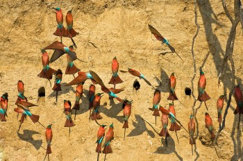 Southern Carmine Bee-eater (Merops nubicoides) by Africaddict