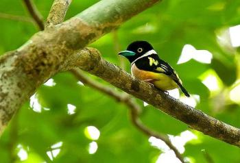 Black-and-yellow Broadbill (Eurylaimus ochromalus) ©Flickr fveronesi1