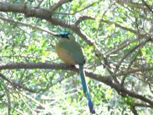 Blue-capped Motmot (Momotus momota) by Lee