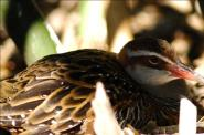 Buff-banded Rail (Gallirallus philippensis) by Dan
