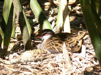 Buff-banded Rail (Gallirallus philippensis) by Lee