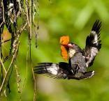 Dusky Broadbill (Corydon sumatranus) ©WikiC Mike6
