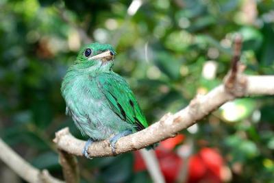 Green Broadbill (Calyptomena viridis) lesser ©©coracii