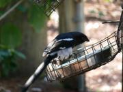 Magpie Shrike (Urolestes melanoleucus) by Lee