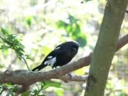 Magpie Shrike (Urolestes melanoleucus) by Lee
