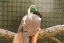 Raggiana Bird-of-paradise (Paradisaea raggiana) by Dan