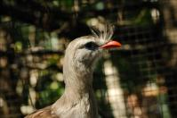 Red-legged Seriema (Cariama cristata) by Dan