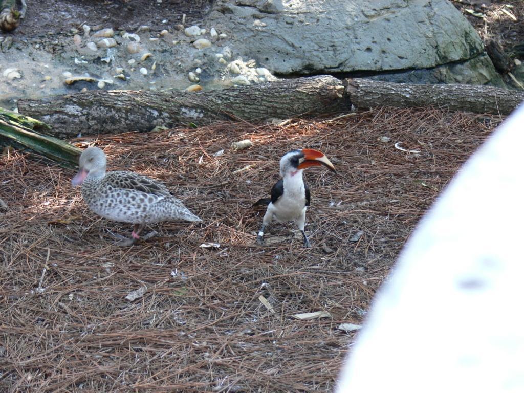 Von der Decken's Hornbill (Tockus deckeni) and Cape Teal (Anas capensis) by Lee