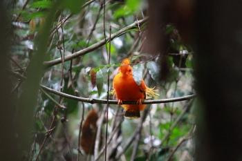 Guianan Cock-of-the-rock (Rupicola rupicola) ©©lolodoc