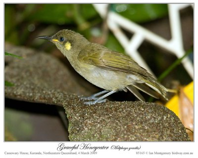 Graceful Honeyeater (Meliphaga gracilis) by Ian