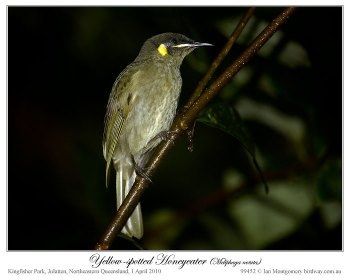 Yellow-spotted Honeyeater (Meliphaga notata) by Ian