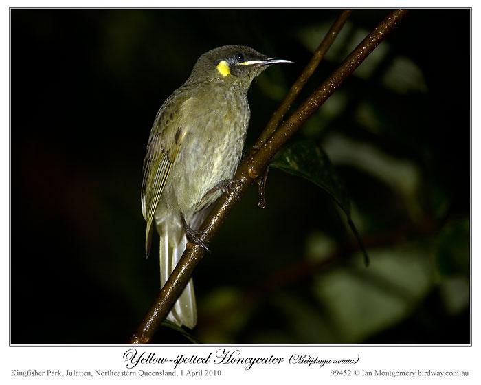 Yellow-spotted Honeyeater (Meliphaga notata) by Ian