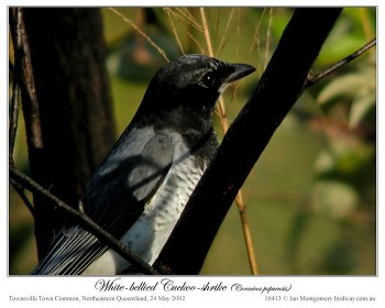 White-bellied Cuckooshrike (Coracina papuensis robusta) by Ian